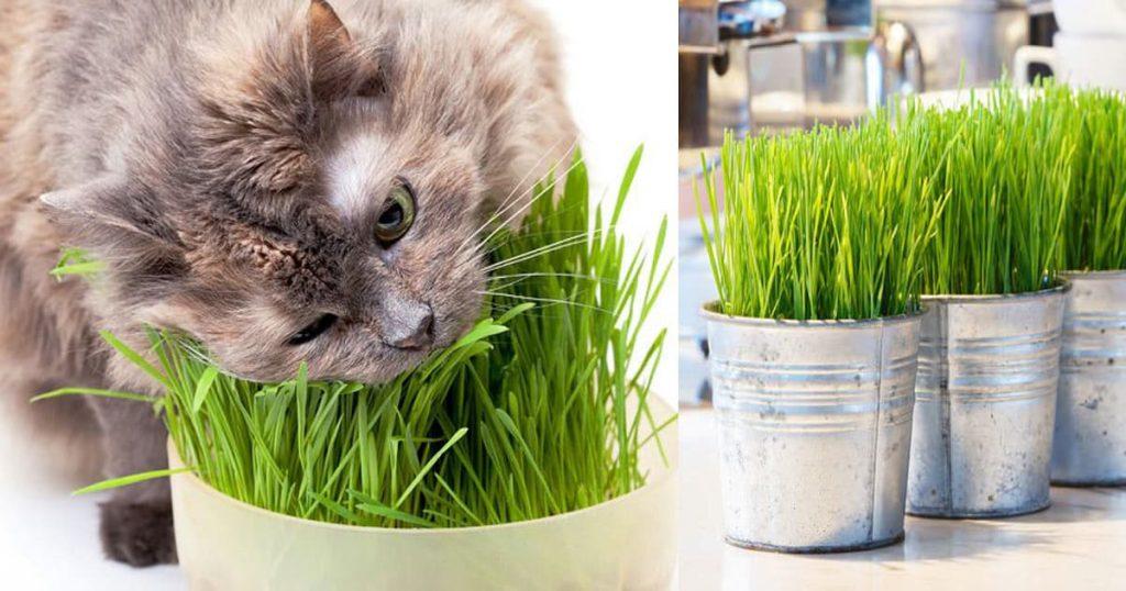 Cat enjoying cat grass